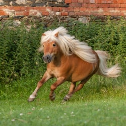 pony running in field