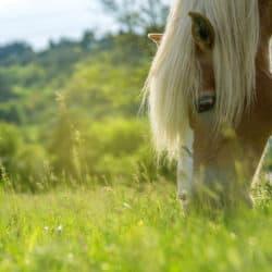 Pony grazing in field