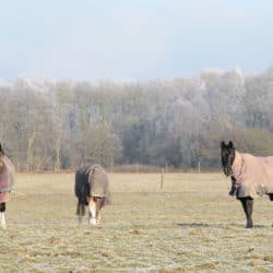 Field kept ponies in the winter