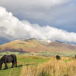 British native breed ponies grazing