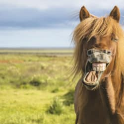 Pony laughing