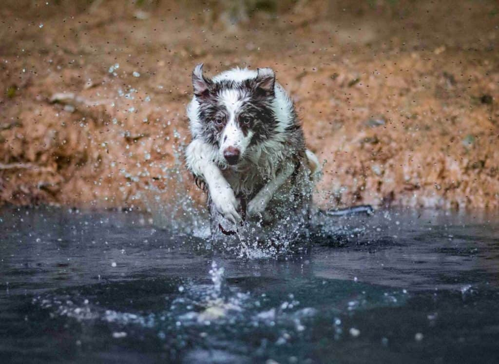 RSPCA Young Photographer Awards, collie running through water