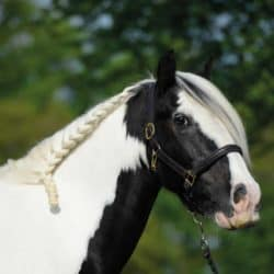 Horse with running plait in his mane