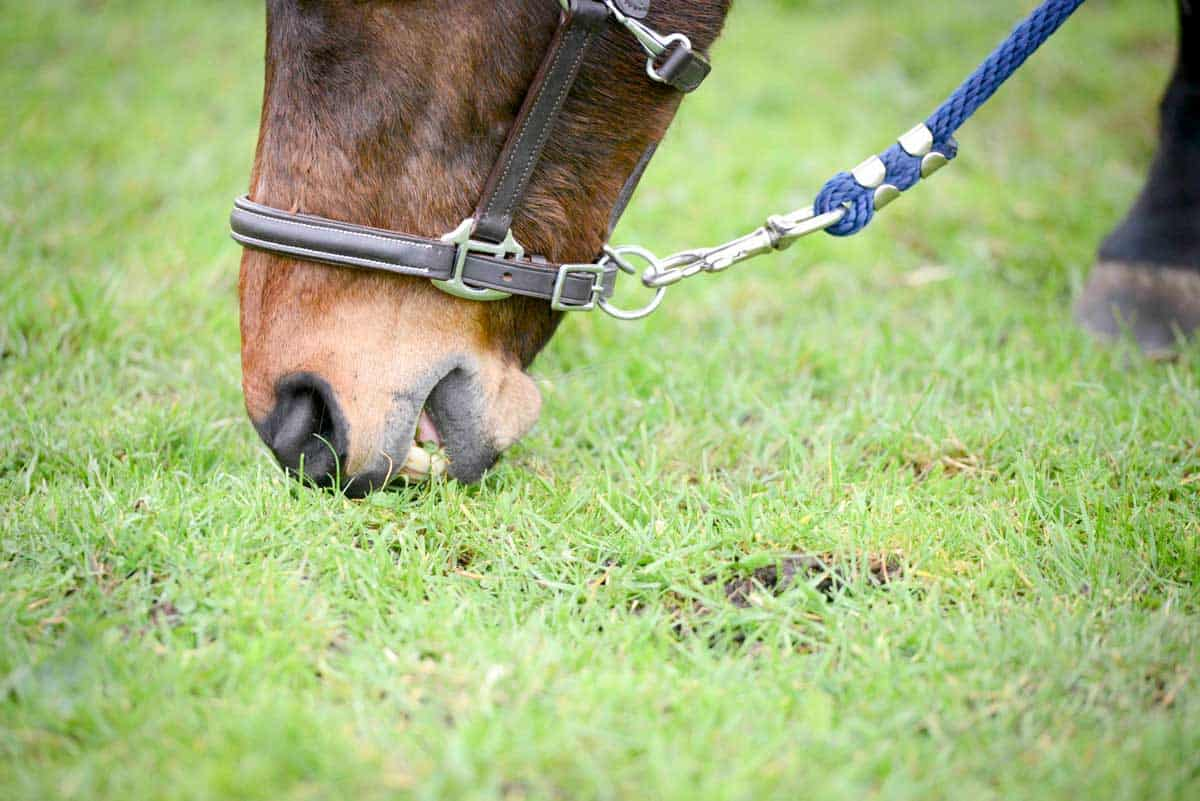 Pony being grazed in-hand