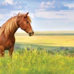 Chestnut pony stood in field