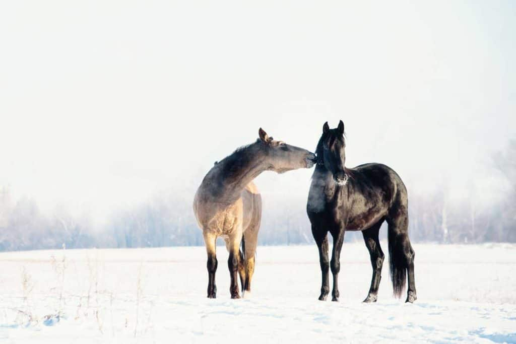 Ponies turned out in winter