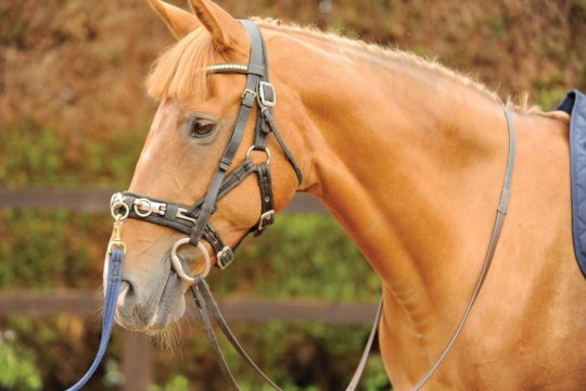 Horse in lungeing tack
