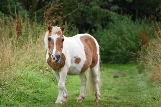 Bamboo 50 pony
